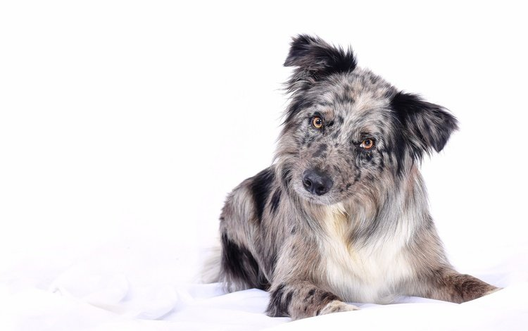 muzzle, look, dog, puppy, white background, the border collie, \