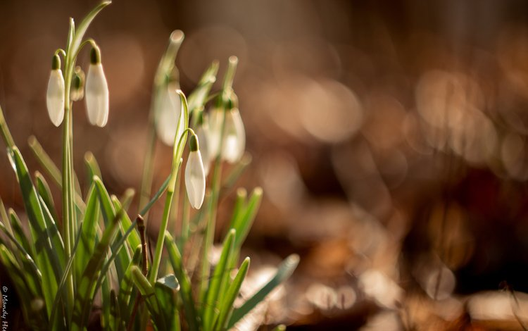 flowers, glare, spring, snowdrops