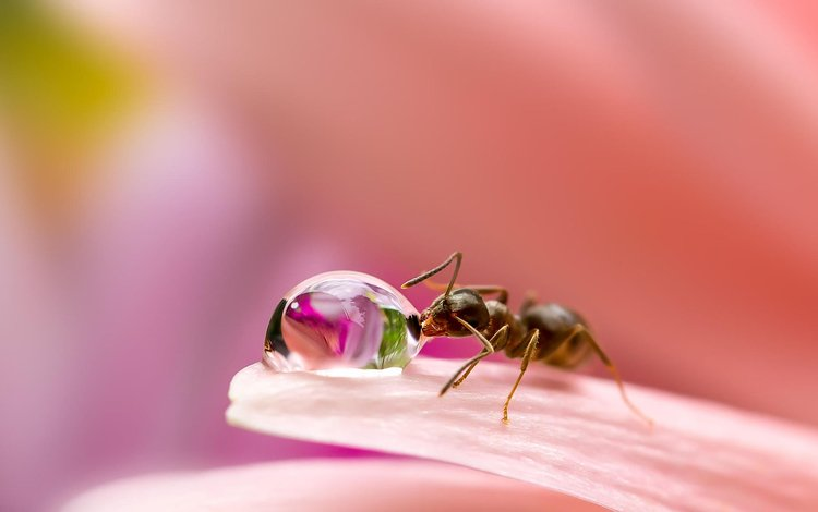 macro, insect, flower, drop, petals, blur, ant, a drop of water, miki asai