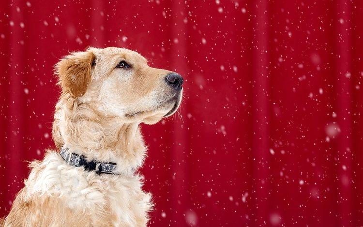 мордочка, взгляд, собака, ошейник, красный фон, золотистый ретривер, muzzle, look, dog, collar, red background, golden retriever