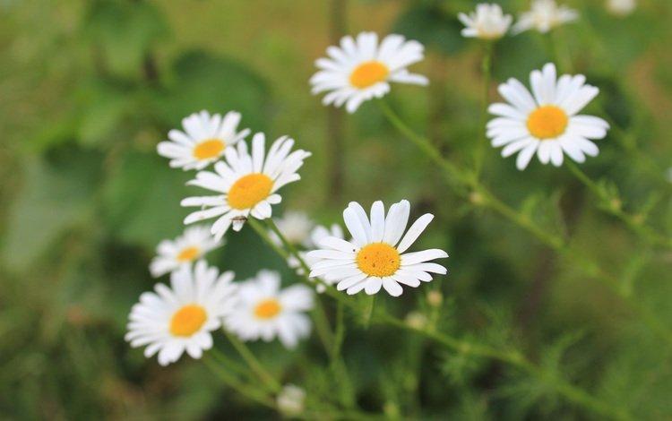 flowers, petals, blur, chamomile, white, stems