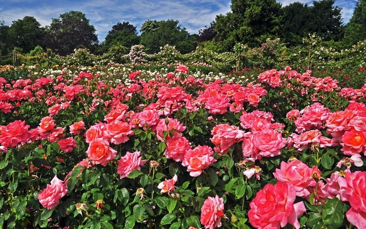 flowers, trees, park, london, roses, garden, england, regents park queens