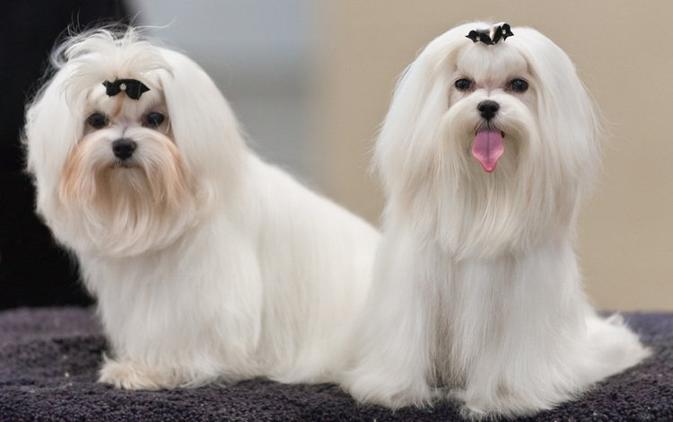 look, dogs, faces, maltese