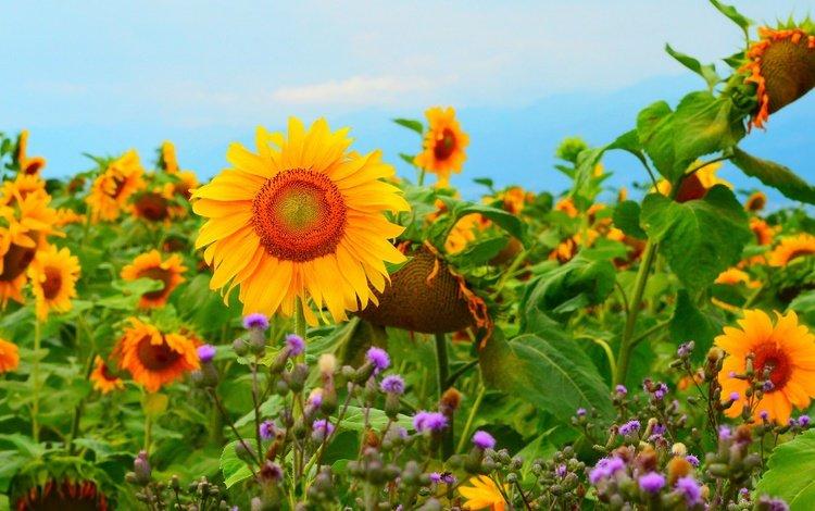 flowers, field, sunflowers, yellow flowers