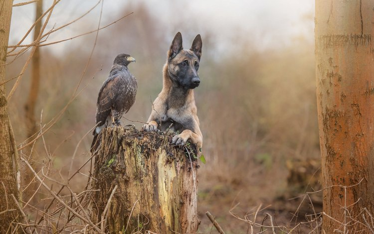 grass, nature, forest, animals, autumn, dog, bird, friendship, crow, belgian shepherd