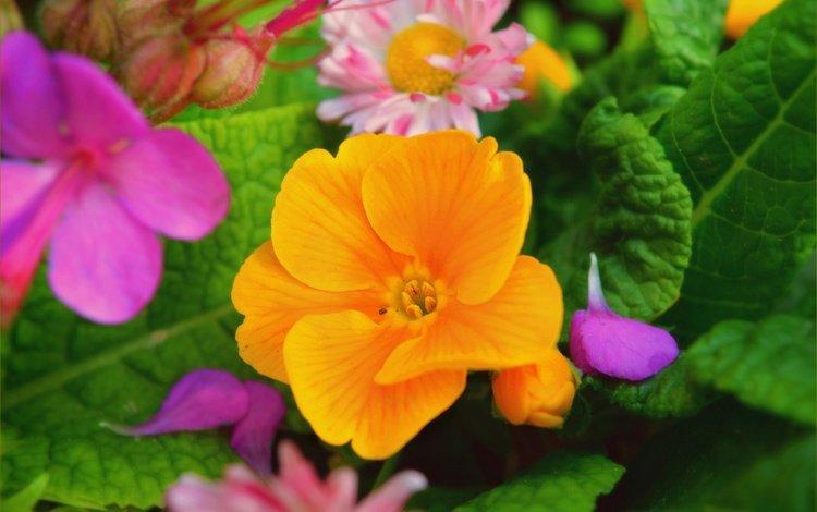 flowers, leaves, petals, primula