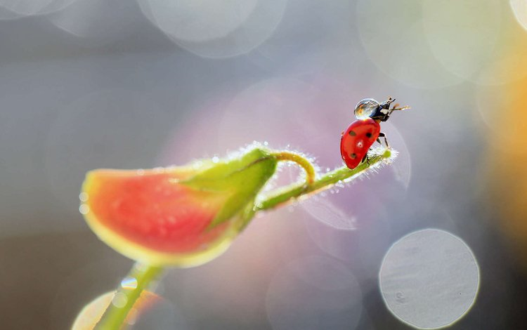 insect, flower, drops, ladybug, plant, bokeh