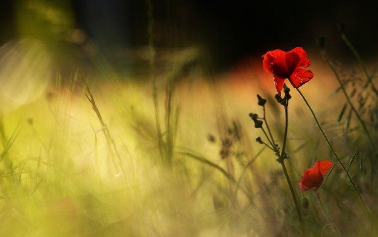 light, flowers, grass, petals, red, maki, blur, bokeh