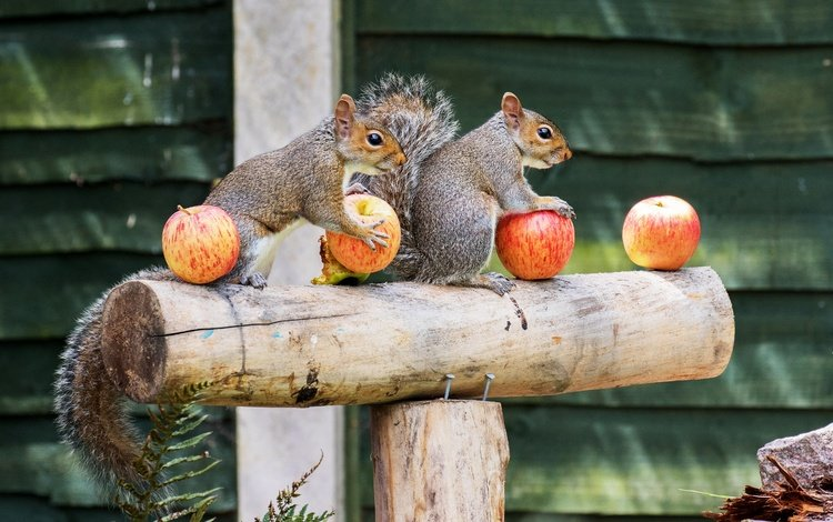 background, fruit, apples, board, house, yard, log, proteins, squirrels