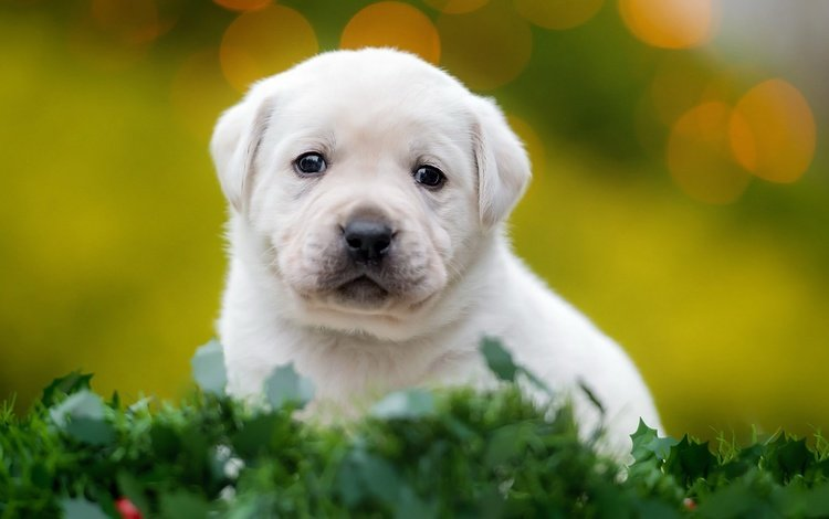 muzzle, look, dog, puppy, labrador, retriever