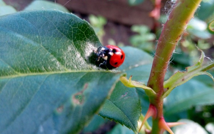 nature, leaves, beetle, insect, ladybug, plant