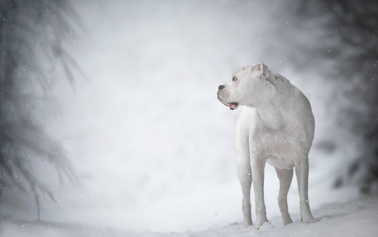 winter, white, dog, bokeh, the dogo argentino, ima