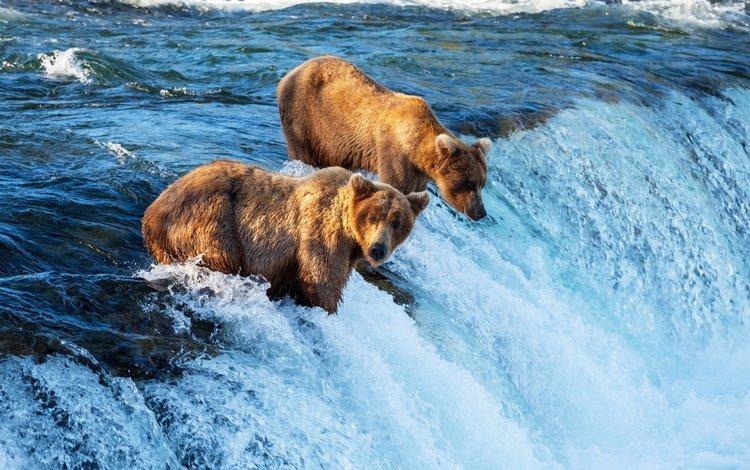 водопад, хищник, медведи, waterfall, predator, bears