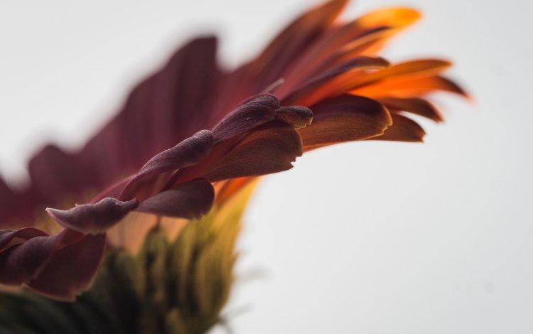 macro, flower, petals, gerbera