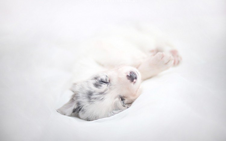 sleep, dog, puppy, the border collie, alicja zmysłowska