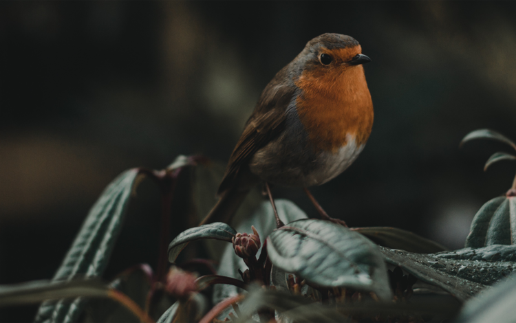 nature, leaves, bird, beak, robin