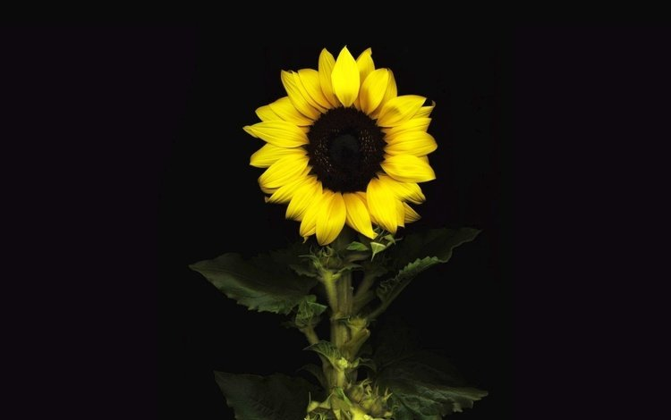 flower, petals, sunflower, black background