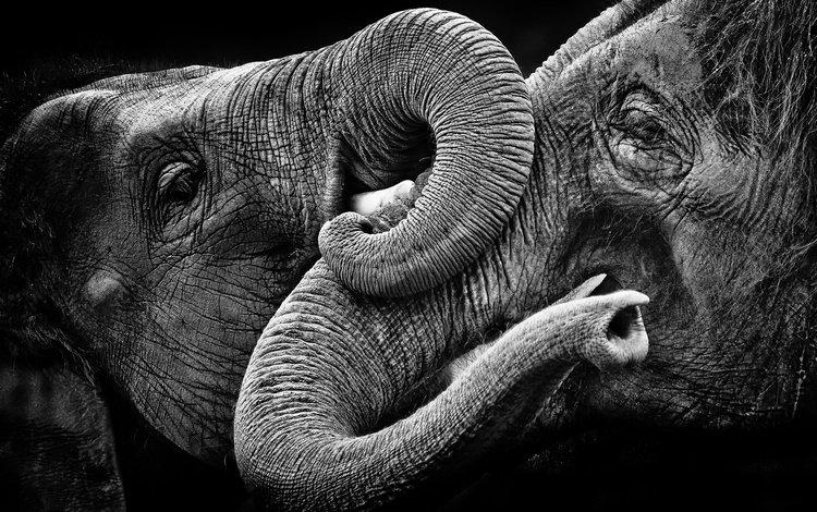 nature, background, black and white, elephants