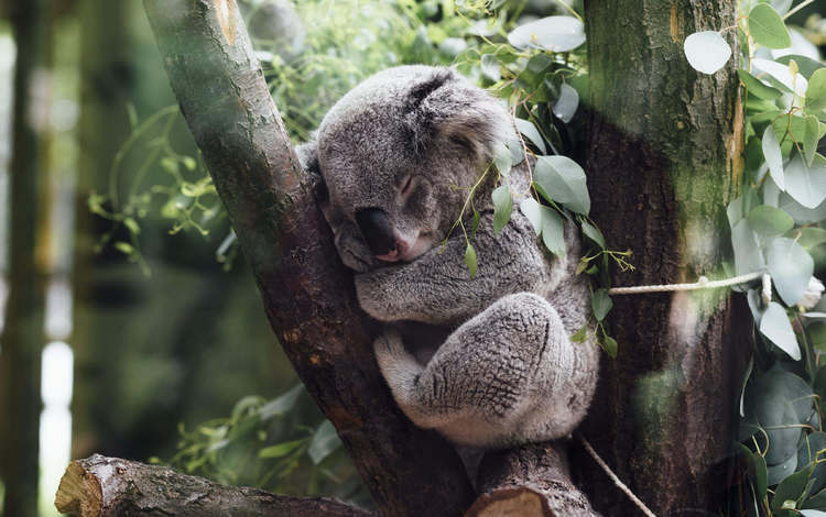 tree, leaves, sleep, jungle, koala