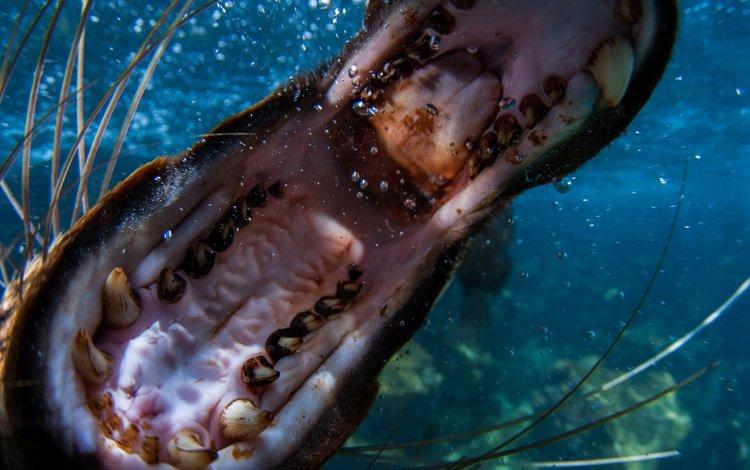 animals, under water, teeth, mouth, sea lion, hippo, ivan nouvilas valldeperes, ocean