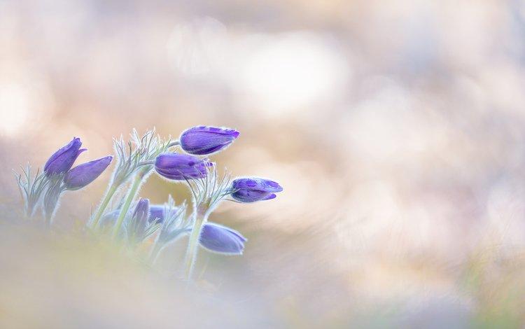 flowers, macro, petals, blur, spring, primrose, sleep-grass, cross