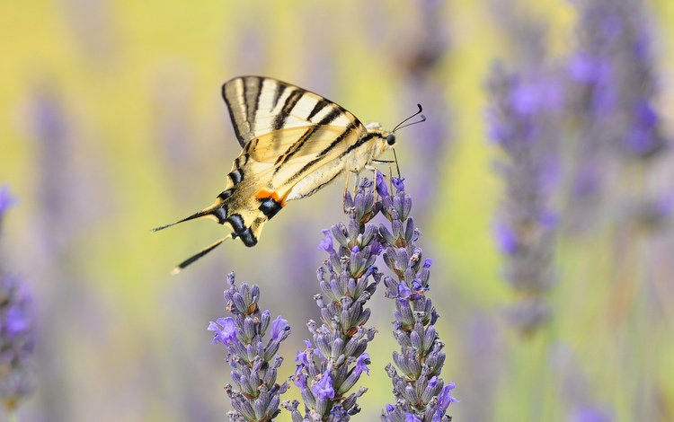 flowers, insect, lavender, butterfly, wings