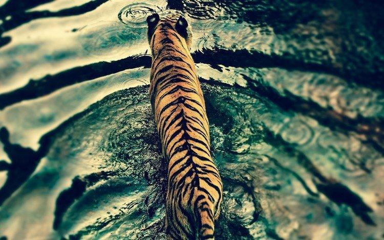 tiger, water, predator, big cat