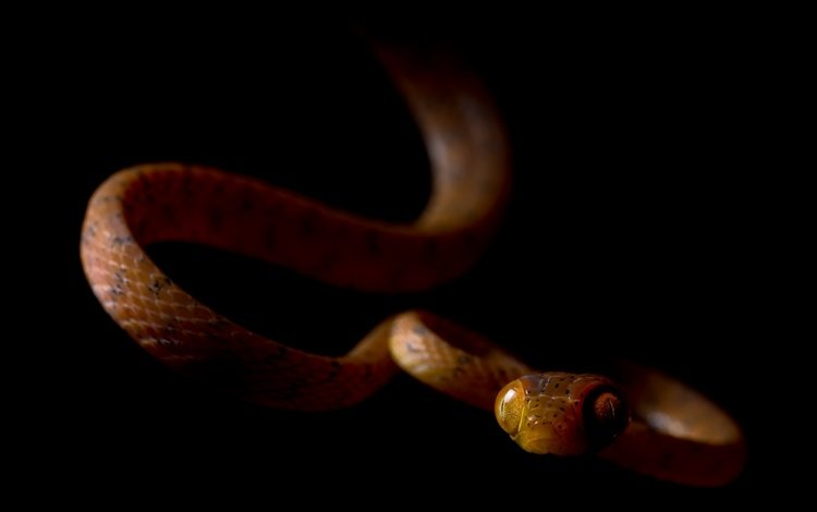 snake, black background, ville vehmaskangas
