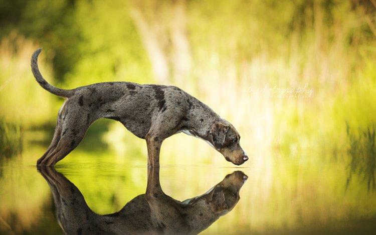 вода, отражение, собака, catahoula leopard dog, леопардовая собака катахулы, water, reflection, dog, the catahoula leopard dog