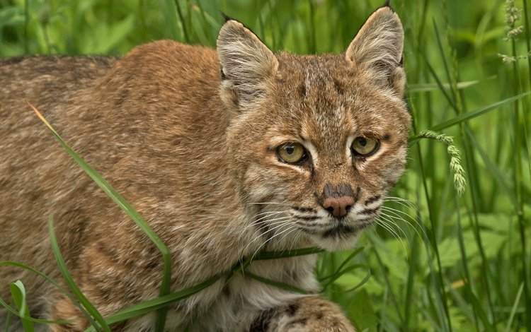 eyes, grass, lynx, look, predator, wild cat