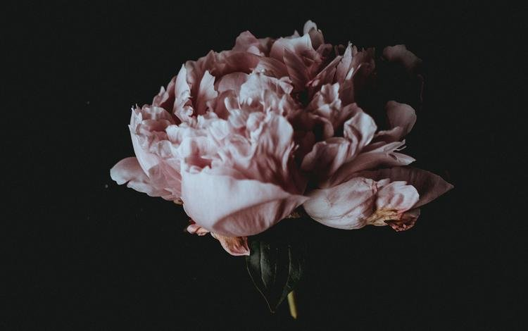 flower, petals, black background, peony