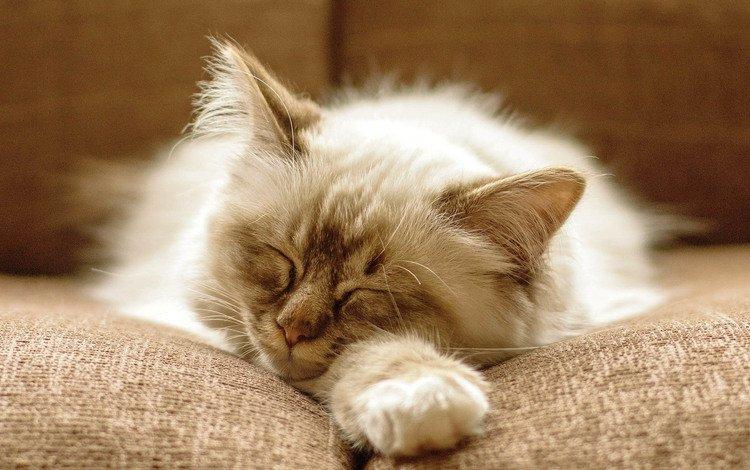 кот, кошка, котенок, пушистый, спит, диван, cat, kitty, fluffy, sleeping, sofa