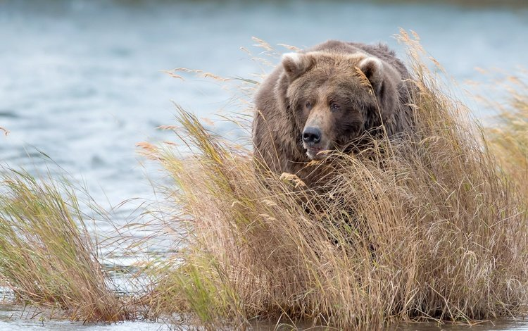 вода, медведь, заросли, бурый медведь, water, bear, thickets, brown bear