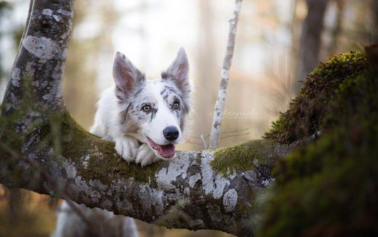 дерево, мордочка, взгляд, собака, бордер-колли, цыри, dackelpup, tree, muzzle, look, dog, the border collie, ciri