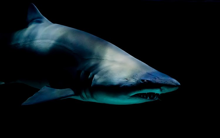 хищник, под водой, акула, predator, under water, shark