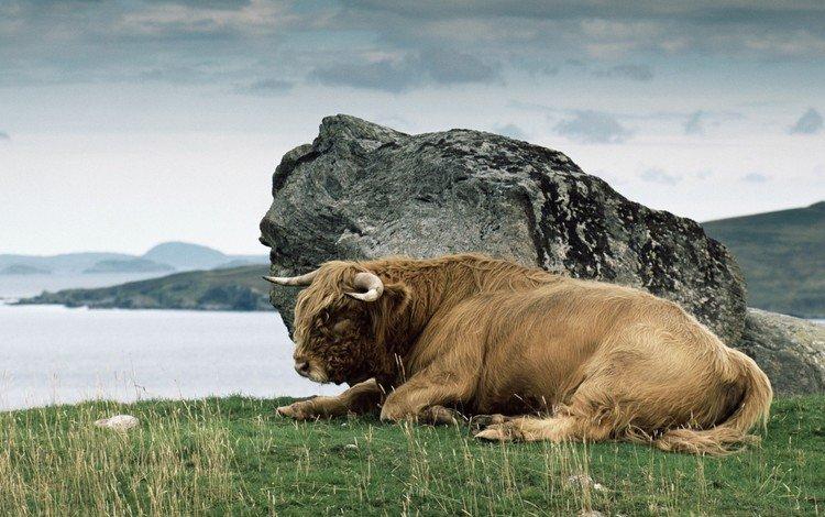 grass, stone, horns, buffalo, bison