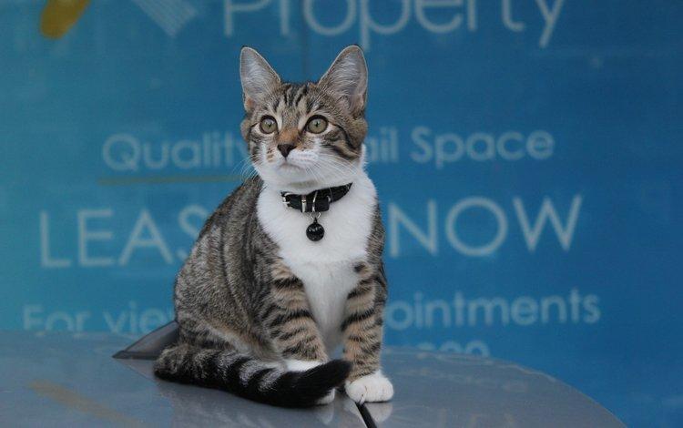 кот, мордочка, усы, кошка, взгляд, котенок, ошейник, cat, muzzle, mustache, look, kitty, collar