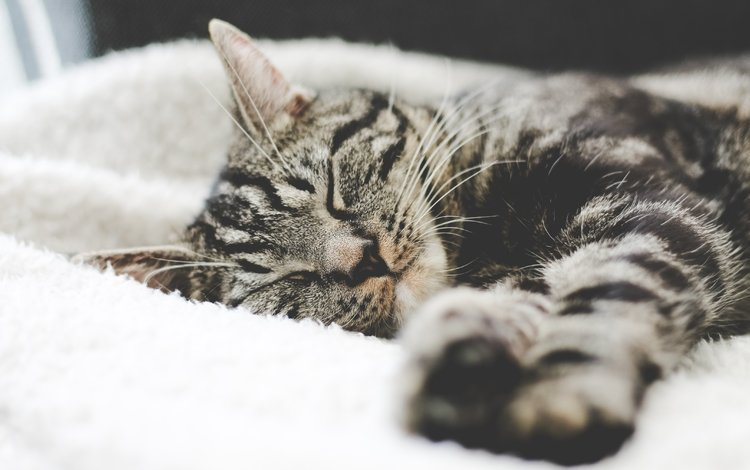 кот, мордочка, усы, кошка, взгляд, сон, полосатый, cat, muzzle, mustache, look, sleep, striped