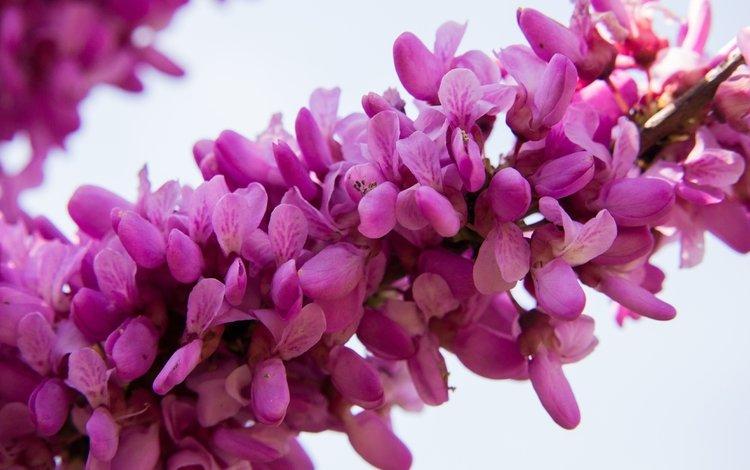 цветы, ветка, цветение, весна, розовые цветы, багрянник, flowers, branch, flowering, spring, pink flowers, barannik