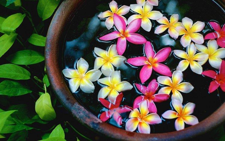 цветы, вода, лепестки, чаша, плюмерия, flowers, water, petals, bowl, plumeria