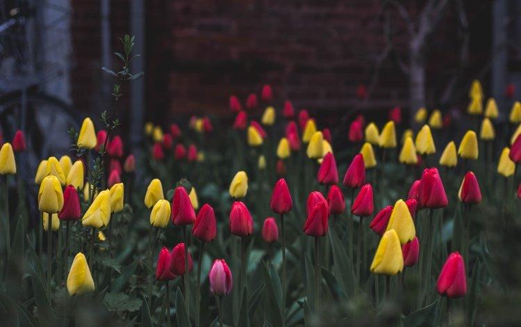 цветы, тюльпаны, клумба, flowers, tulips, flowerbed