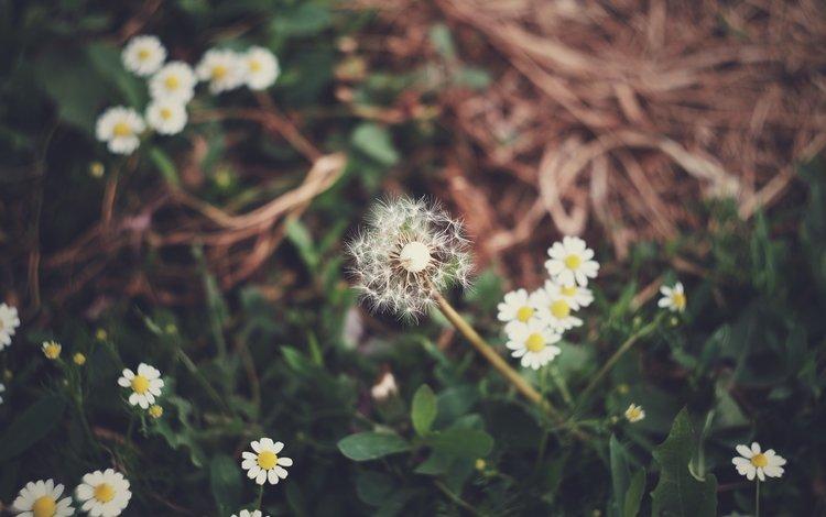 цветы, трава, поляна, ромашки, одуванчик, flowers, grass, glade, chamomile, dandelion