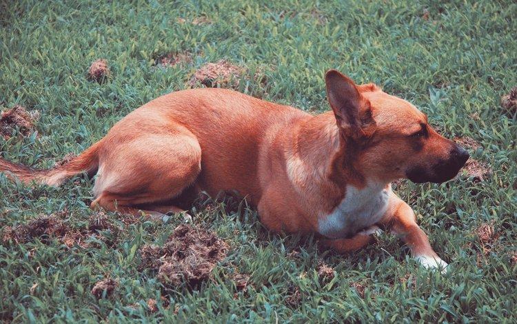 трава, собака, лежит, grass, dog, lies