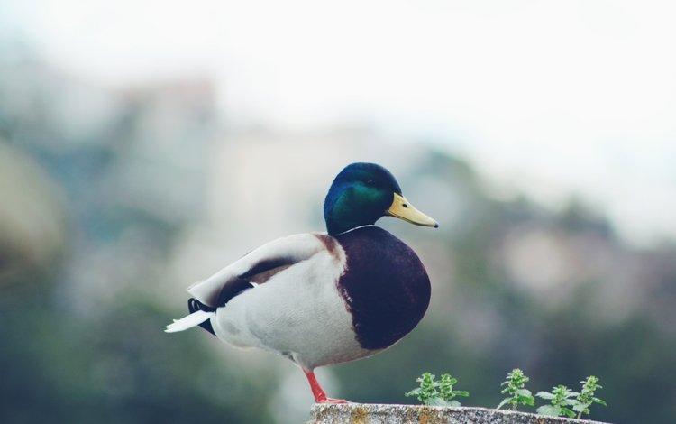 bird, beak, feathers, duck, mallard