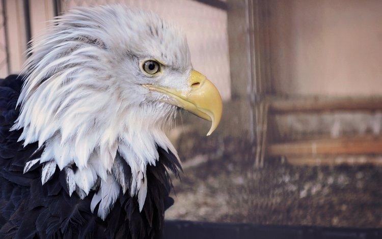 eagle, profile, bird, beak, bald eagle