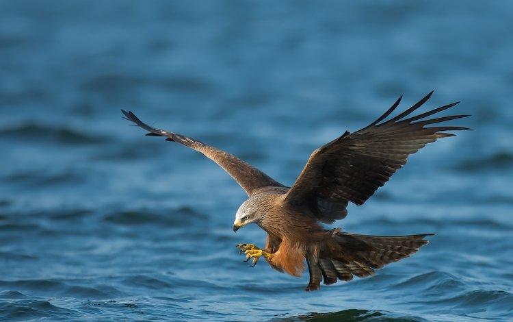 nature, sea, flight, predator, bird, hunting, falcon