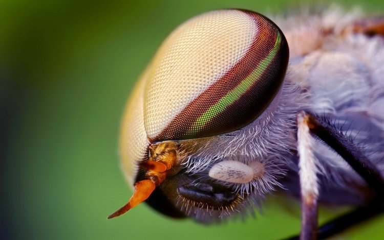 eyes, macro, insect, fly
