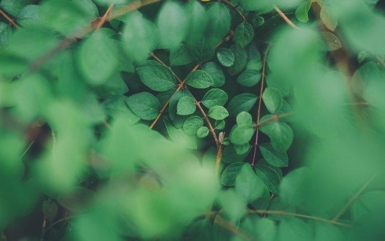 природа, листья, ветки, размытость, растение, nature, leaves, branches, blur, plant