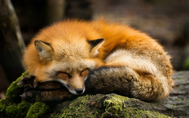 спит, рыжая, лиса, хищник, камень, мох, лисица, sleeping, red, fox, predator, stone, moss