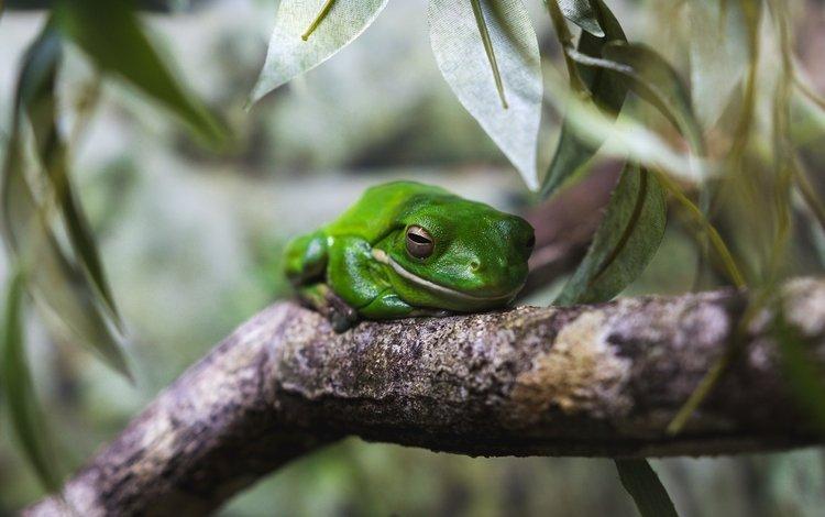 macro, frog, amphibians, tree frog
